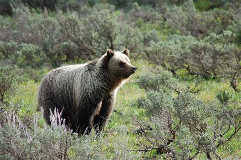 bears out of hibernation in grand teton rockefeller