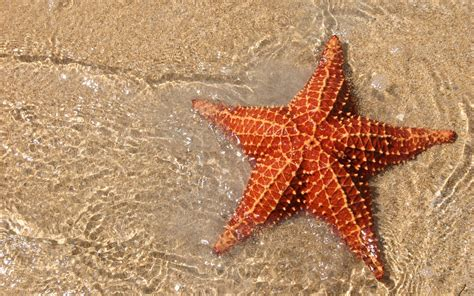 download wallpaper bintang laut 9 cool facts about starfish