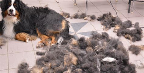 Will Grooming Help Shedding by De Shedding Your Gary S Grooming