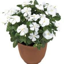Benih Bunga Mr Fothergills Import Cornflower Blue tanaman amarilis merah amaryllis bibitbunga