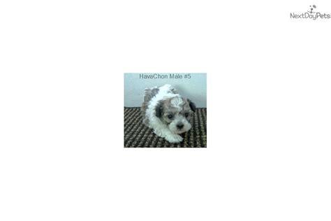 havanese puppies for sale in nashville tn havachon 5 havanese puppy for sale near nashville tennessee 444835ef 2f91