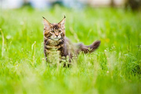 wann wird katze ruhiger ab wann wird ein k 228 tzchen zur katze fit