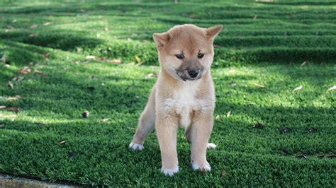 elenco cani da appartamento allevamento e vendita shiba inu a bari e matera
