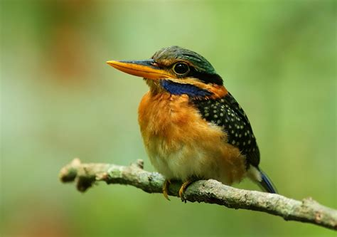 south east asia birds malaysia birds paradise rufous