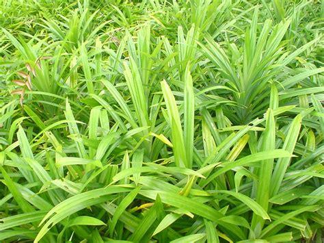 what is foliage plants pandanus amaryllifolius