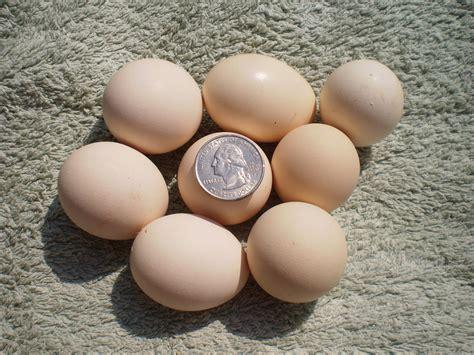 buff orpington egg color serama chicken eggs