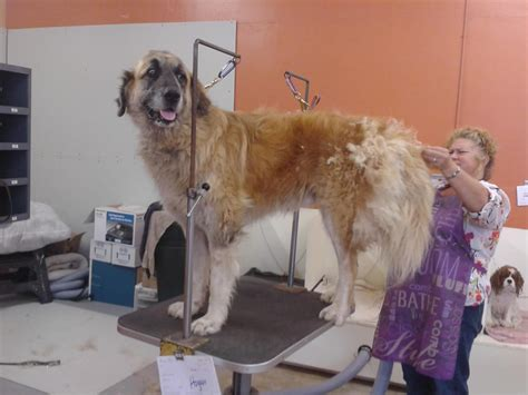 puppy adoption events near me leonberger rescue from milo foundation can we make him beautiful for adoption yelp