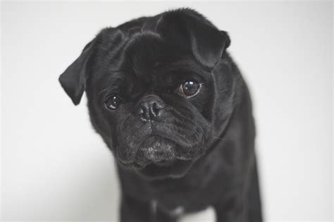 pugs brachycephalic brachycephalic what it means for your pug the pug diary