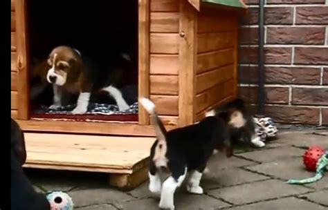 beagle dog house tiny beagle so precious beagle mania