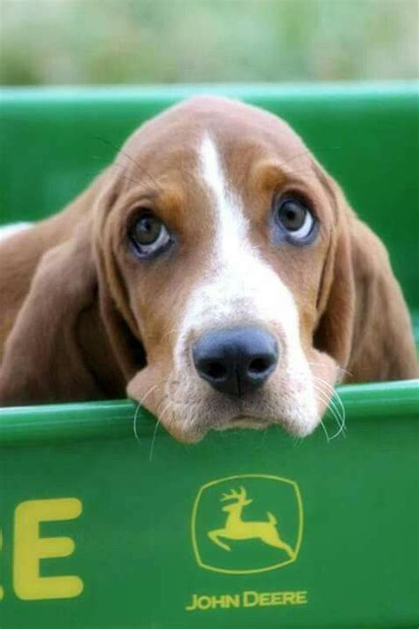 cheap basset hound puppies for sale 635 best images about basset hounds on