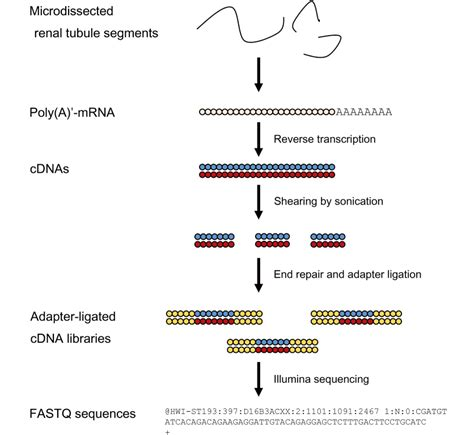 sequencing illumina rna sequencing of the nephron transcriptome a technical