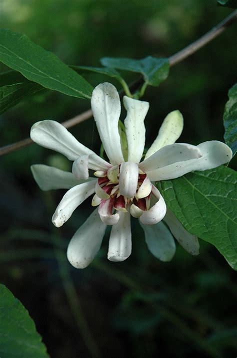 venus sweetshrub calycanthus venus  columbus dublin