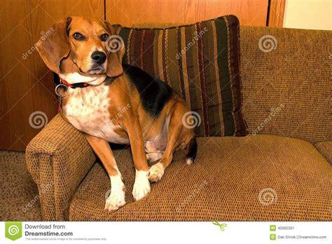 house beagle stock photo image 40065301