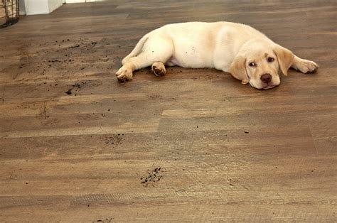 Best Flooring For Pets Best Flooring Choices For Pets Coles Flooring