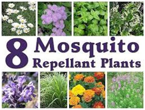 plants that keep mosquitoes away garden simple hobby homesteading