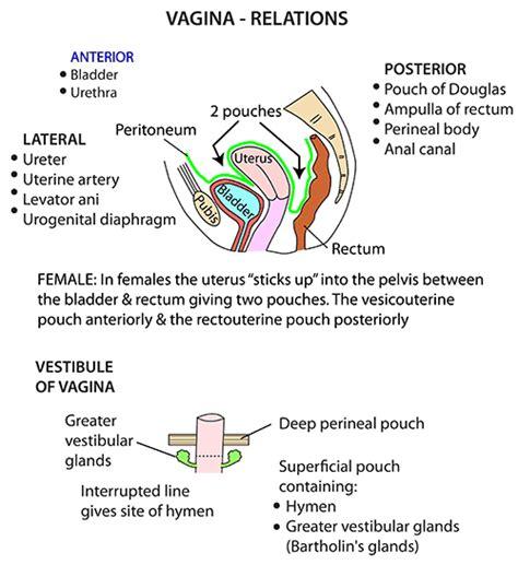 vaginia diagram instant anatomy abdomen areas organs tract