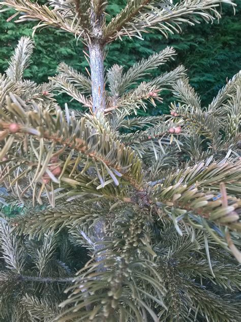 christmas tree dying gardening forum gardenersworld com