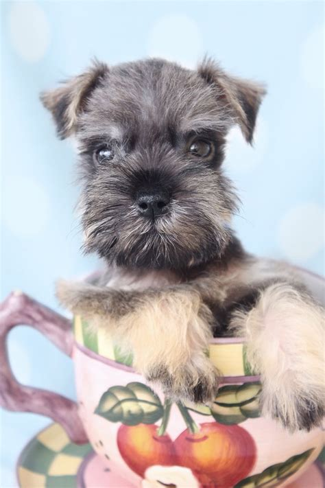 schnauzer puppies florida 840 best images about schnauzer s on