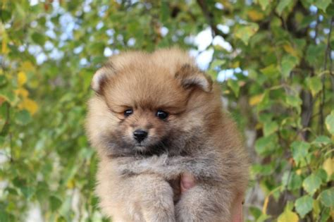 pomeranian puppies for adoption in illinois 187 precious micro teacup pomeranian puppies for adoption