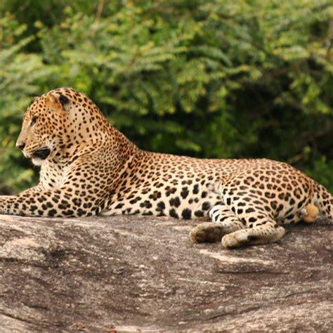 Leopard Bird wildlife wanderings on the trail of sri lanka s illusive