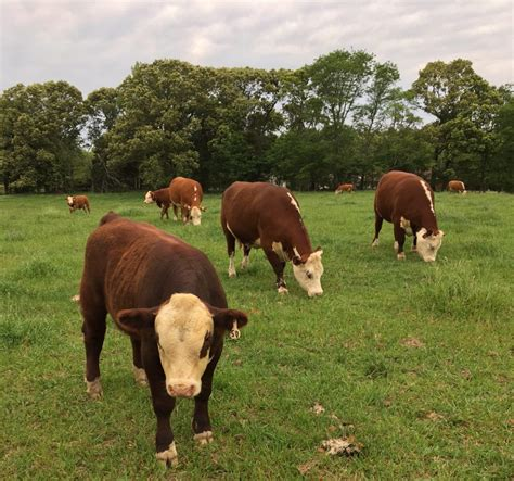 hereford cattle hereford cattle mcbridecattlecompany com
