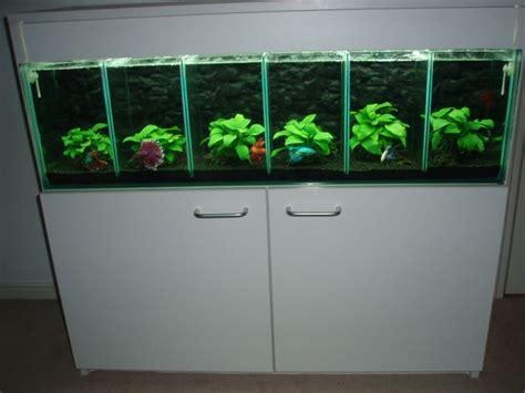 betta tank dream betta tank betta siamese fighting fish