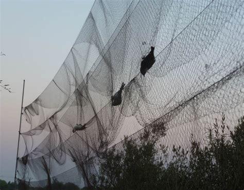 an illegal net traps birds in cyprus shocking