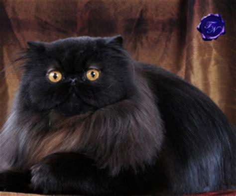 gatto persiano alimentazione alimentazione gatto persiano la dieta ideale