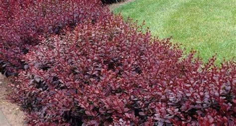 meraviglioso Piante Piccole Da Giardino #1: piante-per-siepi-sempreverdi_NCG2.jpg