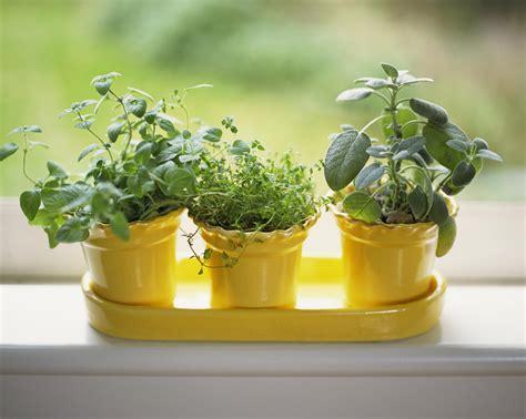 grow herbs indoors   sunny windowsill