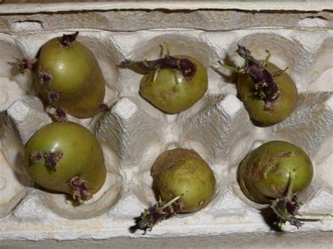 Wann Pflanze Ich Kartoffeln 4637 by Kartoffel Vorkeimen Pflanzen Und Anbauen Im Garten Und