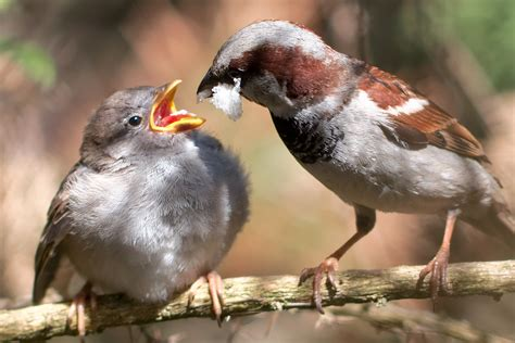 file passer domesticus male feeding chick 8 jpg