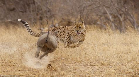 Turns Cheetah by Cheetah Ed Out Of A Meal Becomes The Hunted As