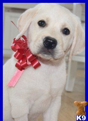 lab puppies for sale in md yellow labrador retriever puppies for sale in maryland