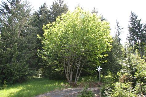 oregon maple at our pleasant hill oregon home