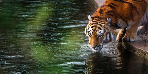 imagenes 4k wallpaper animales tiger 4k hd animals 4k wallpapers images backgrounds