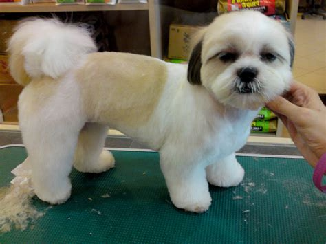 shih tzu hair styles shih tzu dogs haircuts in dog bentley pinterest