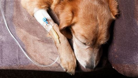 ketoacidosis in dogs diabetic ketoacidosis in dogs symptoms causes treatments dogtime