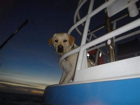 puppies for sale treasure coast spirit oaks labs labrador retriever breeder indiantown florida