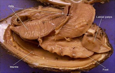 Clam Dissection - Biology Junction