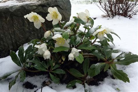 Flowering Patio Plants by Pacific Horticulture Society The Christmas Rose