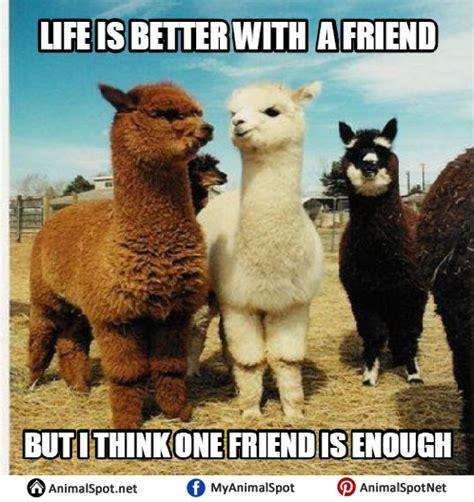 Shaved Llama Meme - alpaca vs llama meme vs best of the funny meme