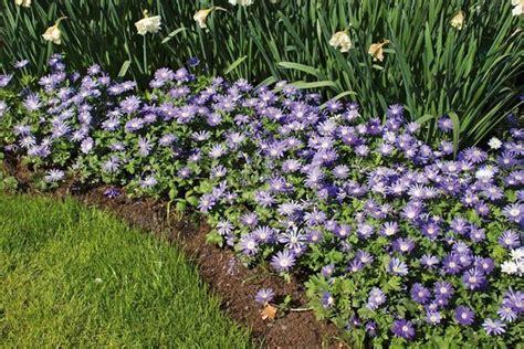 anemone blanda planting anemone blanda quot gemengd quot windflower spring flowers