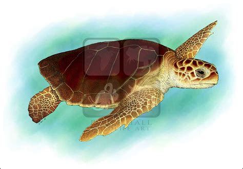 colors of the turtles loggerhead sea turtle caretta caretta line and