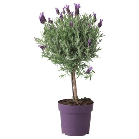 trees in a pot lavender tree in a pot