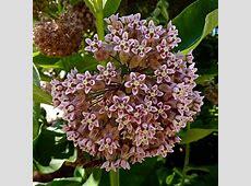 Annie's Annuals & Perennials: Summer Fruit Tree Pruning ... Asclepias Cancellata