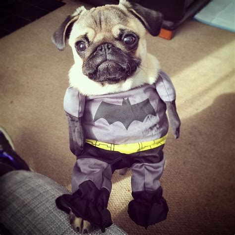 pug batman costume throwbackthursday to the best costume of all time puglife pug batman