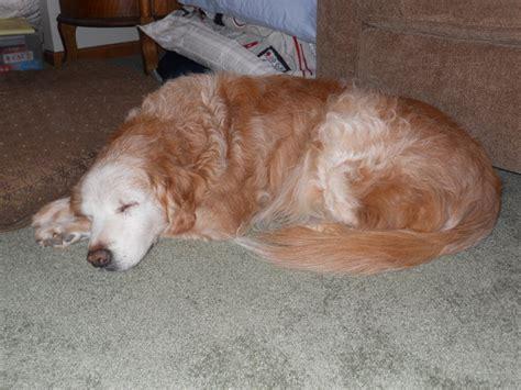 halltree golden retrievers wynwood golden retrievers golden puppies breeders