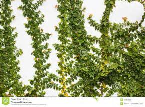 Green Climbing Plants - creeper plant on wall royalty free stock image image 32392386