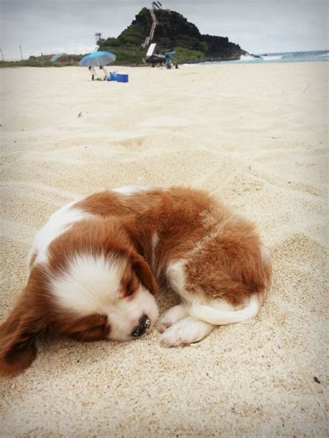sand puppy 25 best ideas about puppies on baby dogs a puppy and